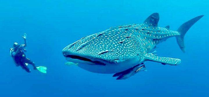 whale-shark-diver-camera-remora